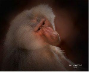 Baboon (Photo Stephen Dennstedt)