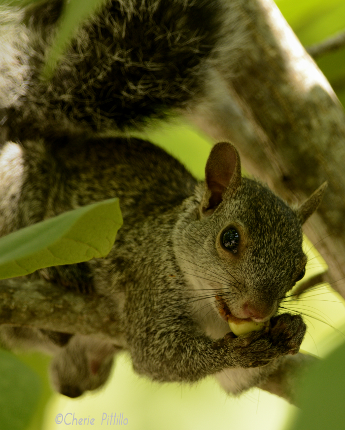 Animals, like this Gray Squirrel, appear to be happy to live at Mayakoba