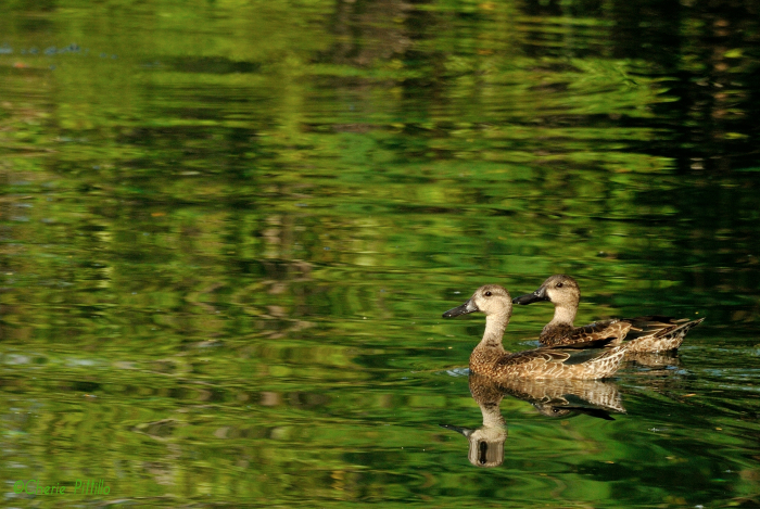 Blue-winged Teal float on the clear lagoon water with the many trees reflected on its surface