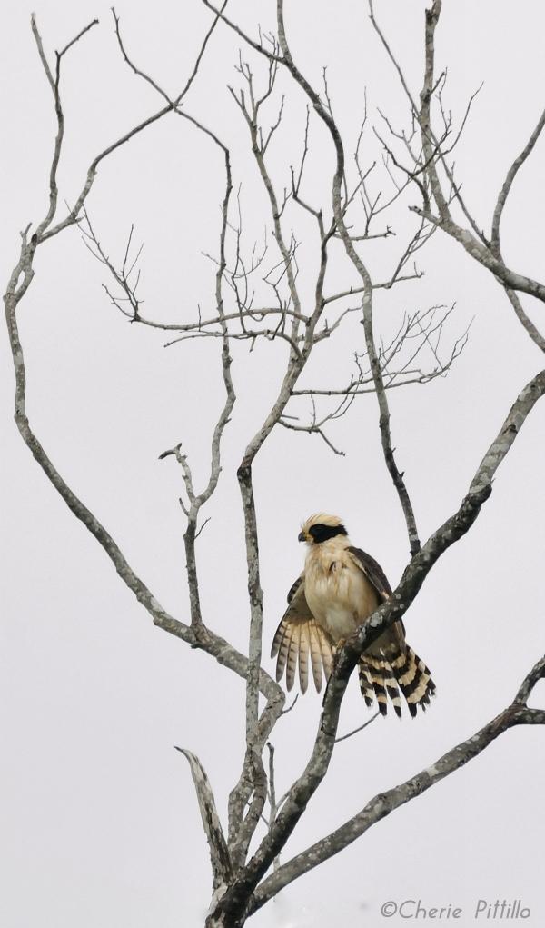 Laughing Falcon at Mayakoba