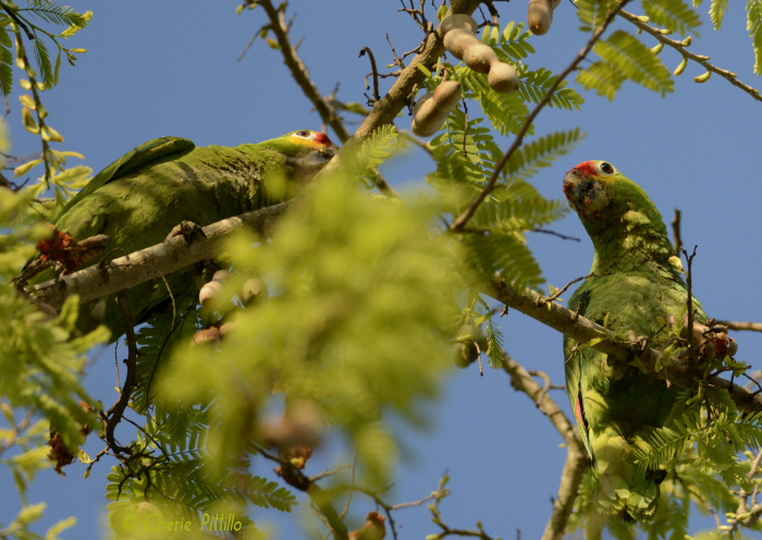 Barely visible atop a tamarind tree, two Red-lored Parrots find breakfast