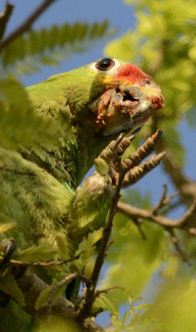 Gooey pulp adheres to the Red-lored Parrot's bill as the parrot lowers its four-toed, hand-like foot