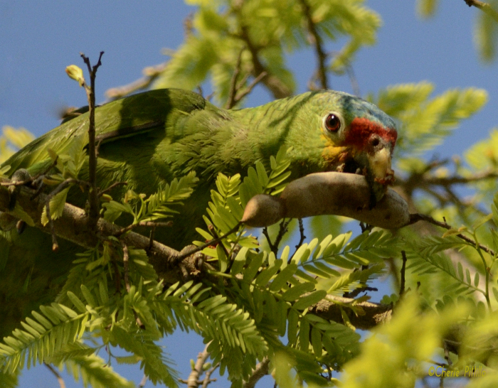 Red-lored Parrot reaches for tamarind seed pod