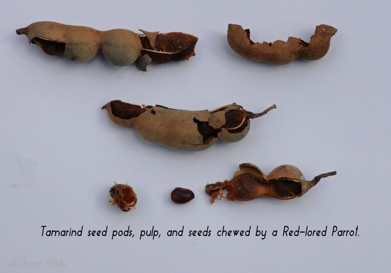 Tamarind seed pods, pulp, and seeds chewed by a Red-lored Parrot