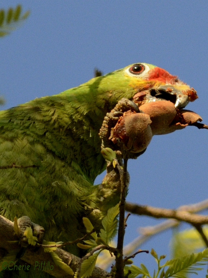 While the Red-lored Parrot uses its foot to hold food, the other clutches the tree-top limb