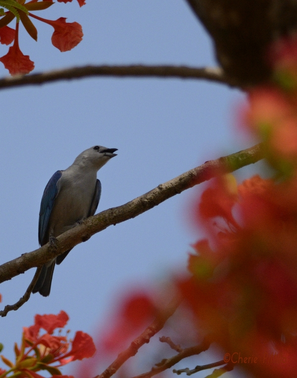 Blue-gray Tanager sings near treetop