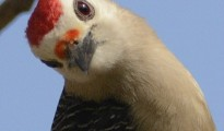 Golden-fronted Woodpecker seems to look at me