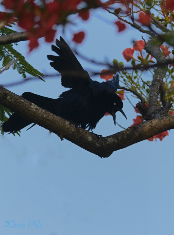 Male Great-tailed Grackle in his glory