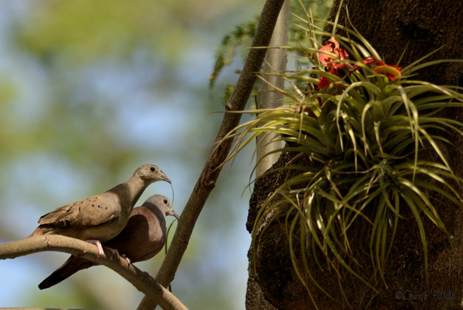 Pair of Ruddy Ground-Doves building a nest behind the fallen flamboyant flower in a bromeliad
