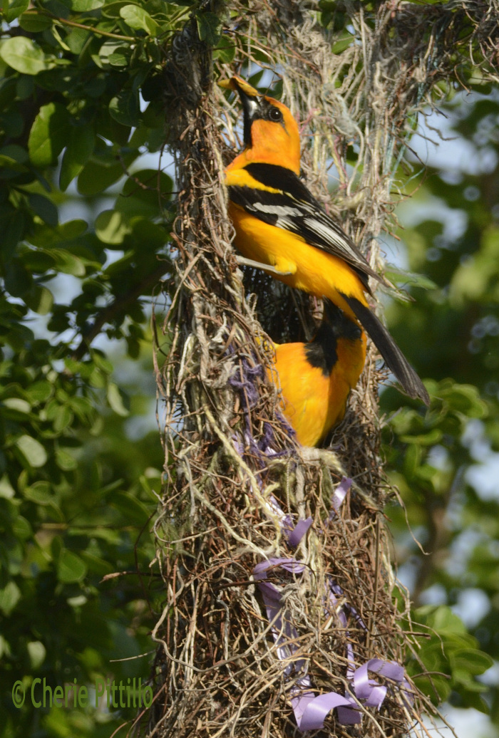 Adult Altamira Orioles almost hit each other as one leaves nest while other arrives as fast food deliverer