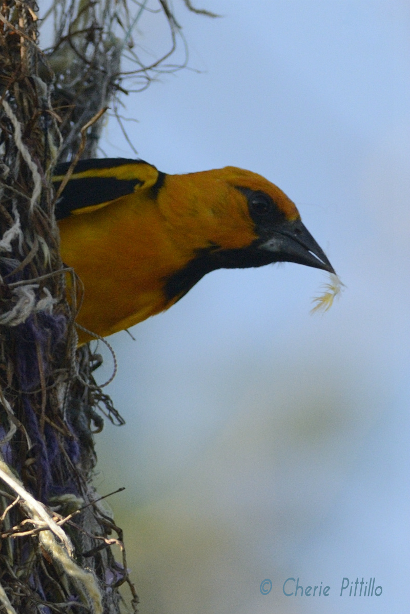 Altamira Oriole becomes a feather duster