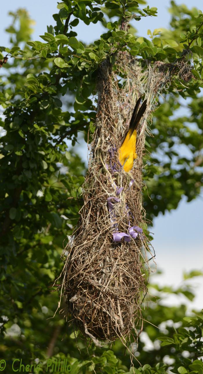 Altamira Oriole pendulous nest
