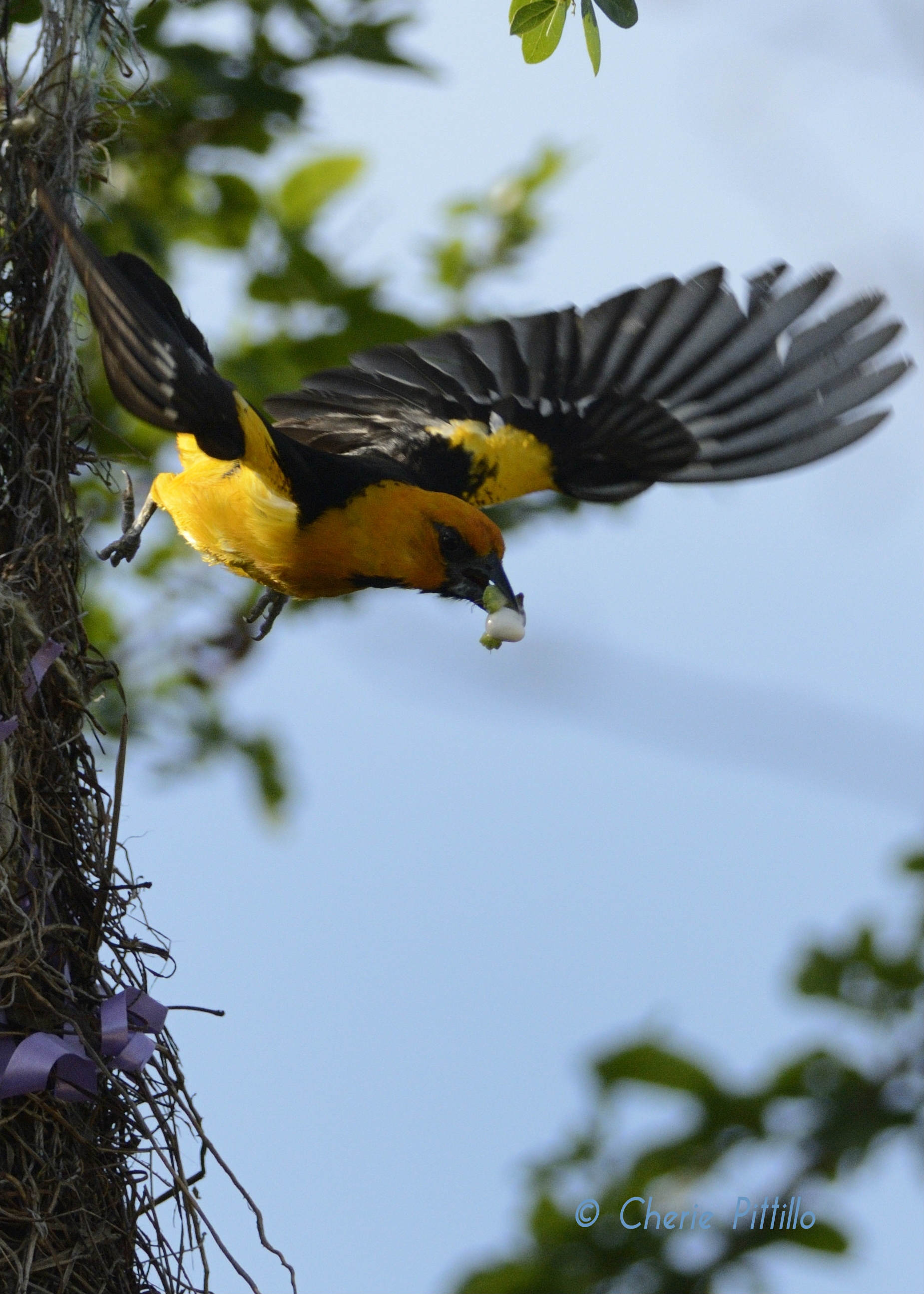 Altamira Oriole removes fecal sac like a disposable diaper from the nest