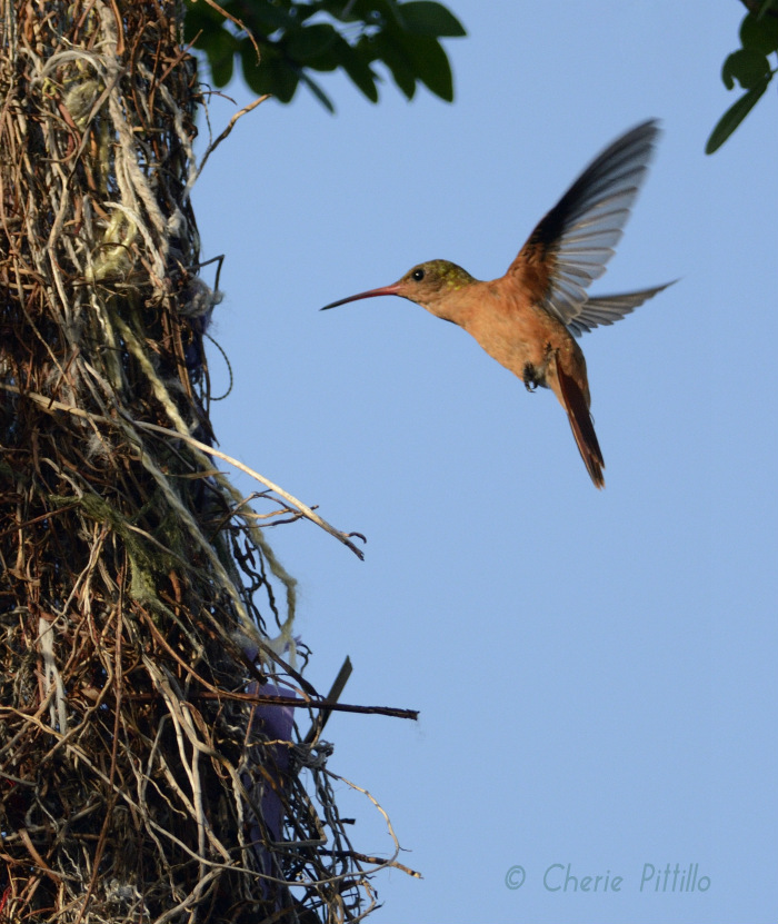 Cinnamon Hummingbird inspects Altamira Oriole nest for insects
