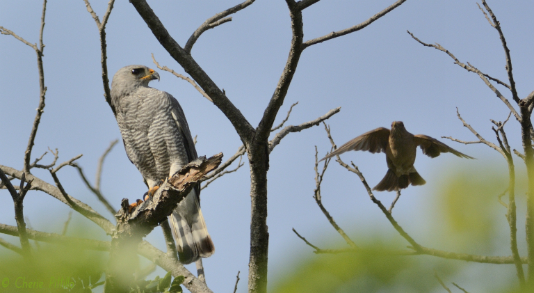 Clay-colored Thrush attempts to flush Gray Hawk