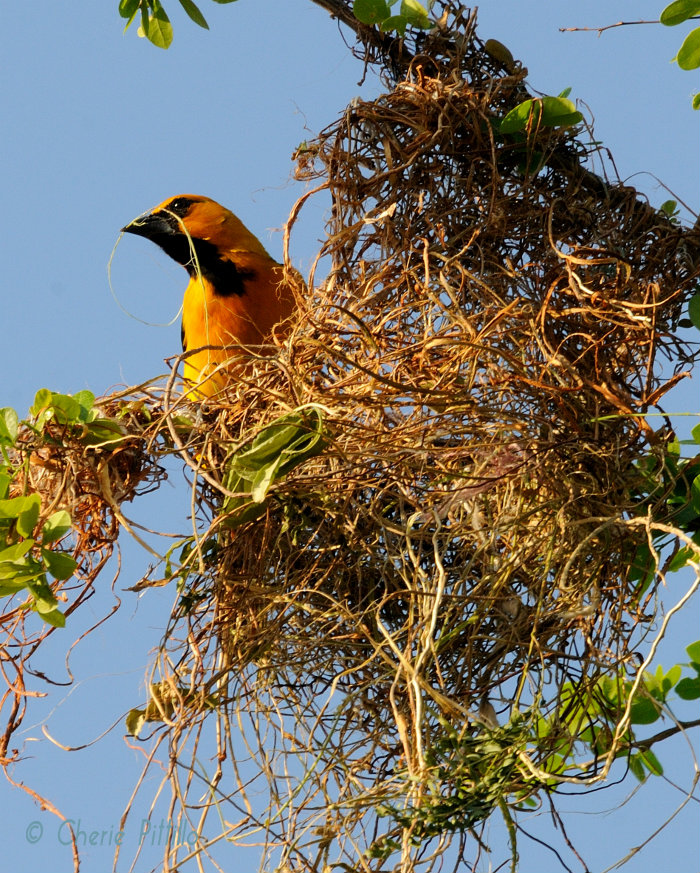 First nest of Altamira Oriole April 15, 2012