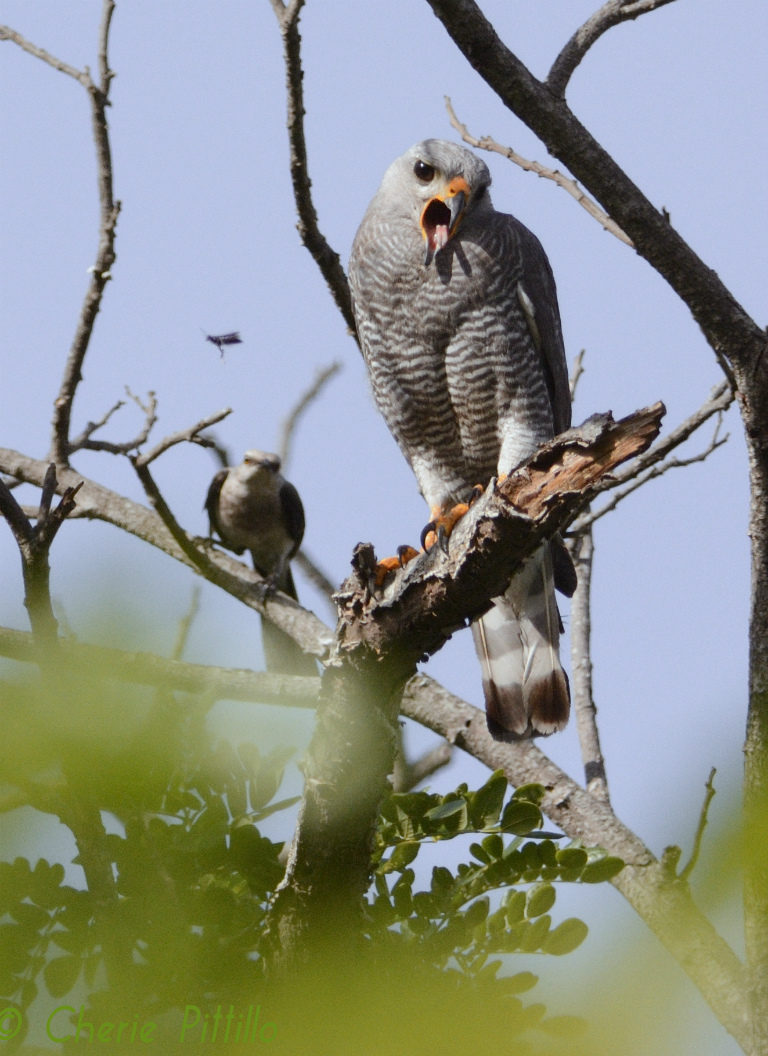 Gray Hawk calls as several bird species mob it, including a Tropical Mockingbird in the background