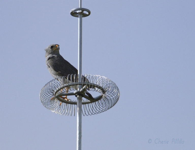 Gray Hawk seems to ignore calls from mate