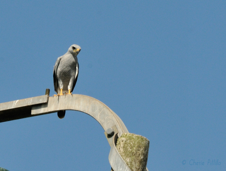 Gray Hawks perch on utility poles or trees along roadsides