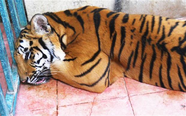 Tiger1_2985447b