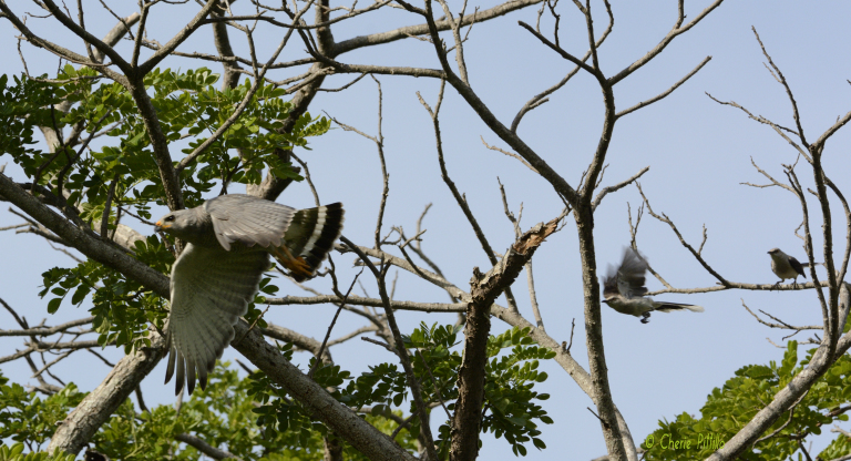 Two Tropical Mockingbirds mob Gray Hawk