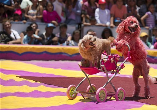 French Poodle dogs performing at a circus in Mexico City
