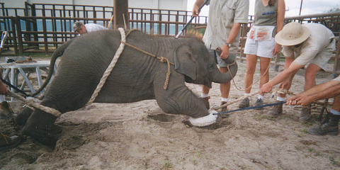 Circues staff mistreating a baby elephant in Aguascalientes, Mexico