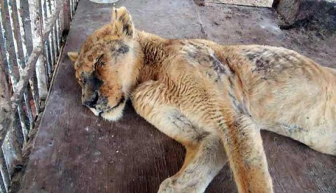 Lioness kept in appalling conditions