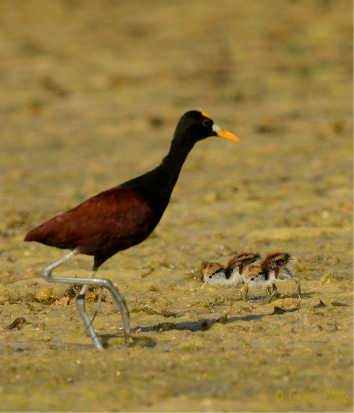 Adult male Northern Jacana walks by two of his four chicks. He builds the nest, sits on the eggs, and raises the young.