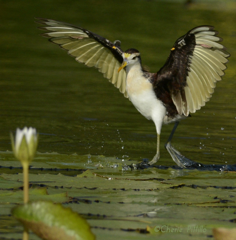 An immature Northern Jacana alights on a lily pad