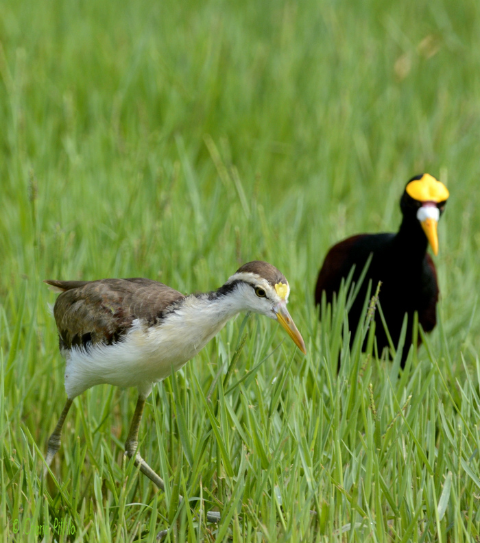 An immature Northern Jacana (left) and its father feed on seeds and insects in these flooded grasses