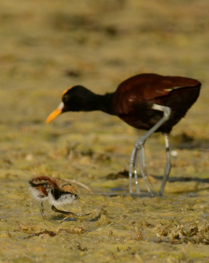 Even at one day of age, a Northern Jacana chick manages to run with its long toes