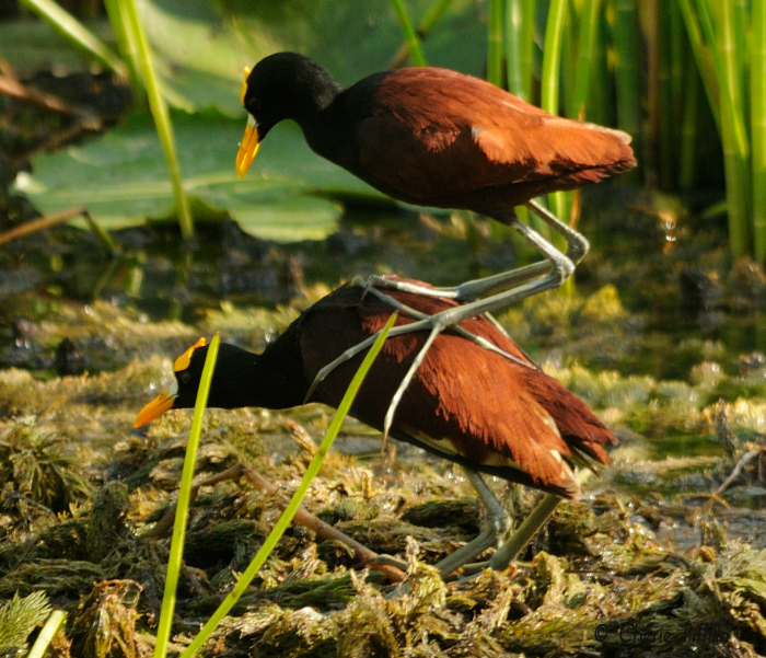 Female Northern Jacana is larger and heavier than the male