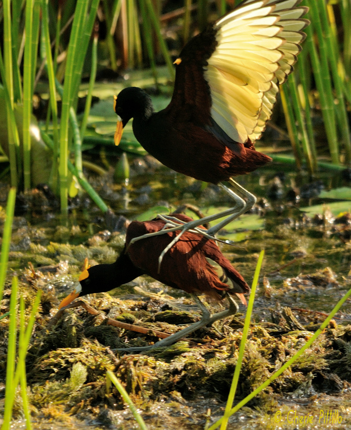 Female Northern Jacana may mate with one to four males within her territory. Male uses wings to balance