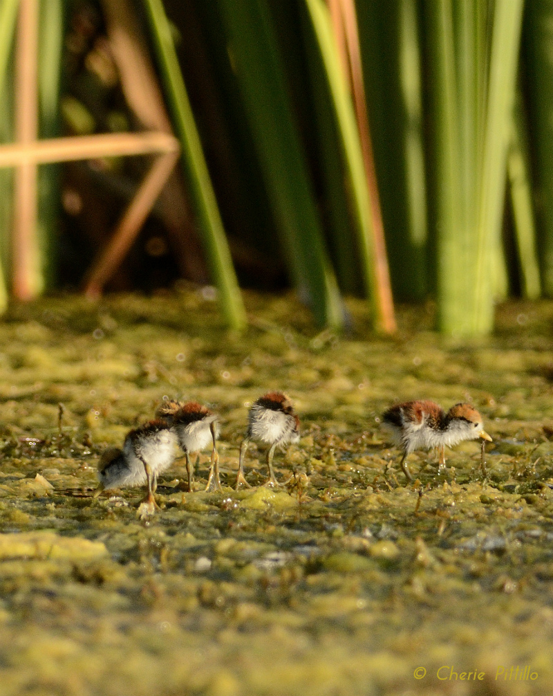 Four Northern Jacana chicks look like ping pong balls tumbling over floating mat of vegetation