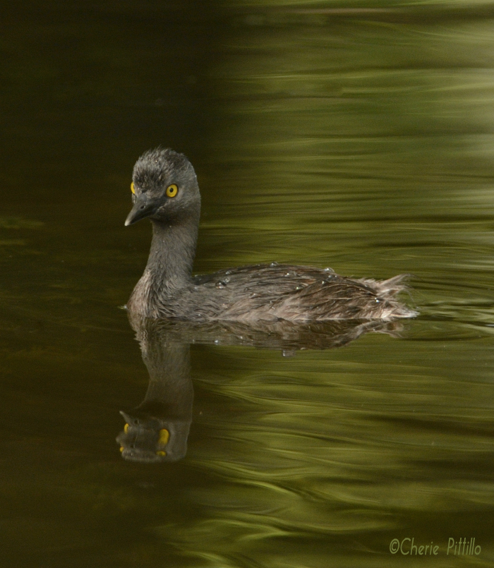 Least Grebe, our smallest, swimming water bird