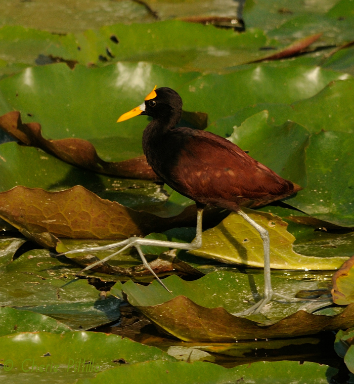 Long toes of Northern Jacana disperses the bird's weight to walk on top of floating plants