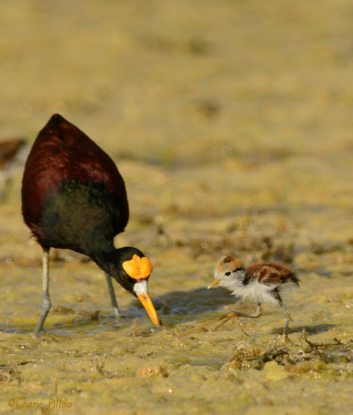 Male Northern Jacana points to food for his chick