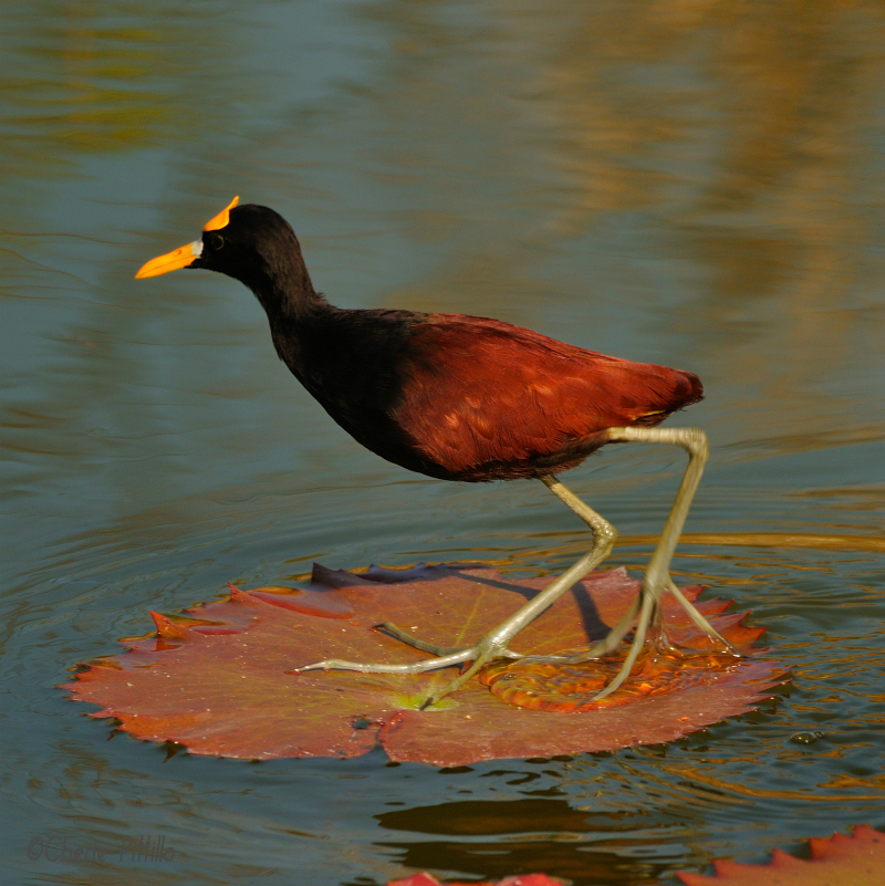 Northern Jacana adult