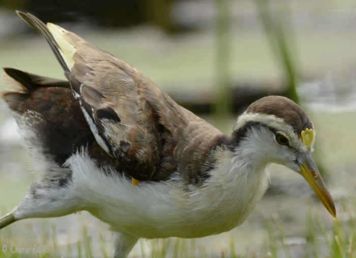 Note yellow wing spur of immature Northern Jacana