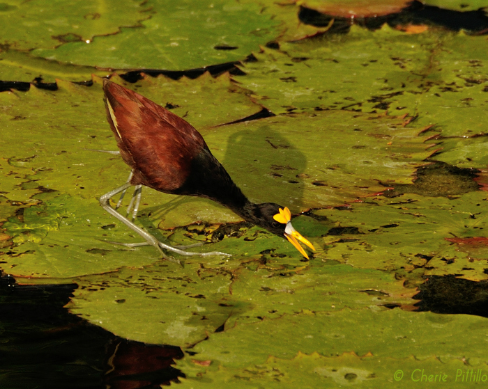Unlike most bird species, the Northern Jacana can feed on top of floating plants