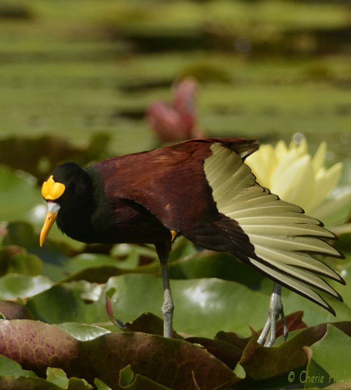 Yellow wing spur of the Northern Jacana is used for defense