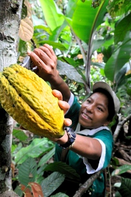 Cacao Harvest in the Yucatan