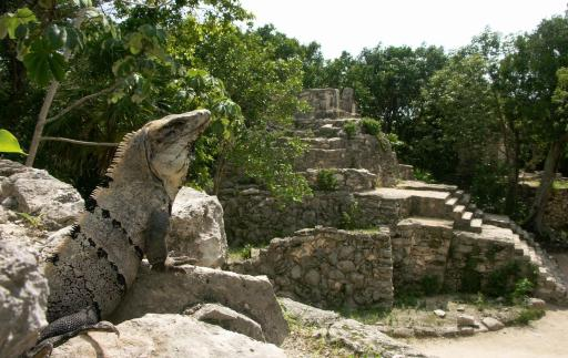 A large iguana lounges at the Mayan pyramids located in the Mayan Riviera in the Xcaret ecological reserve