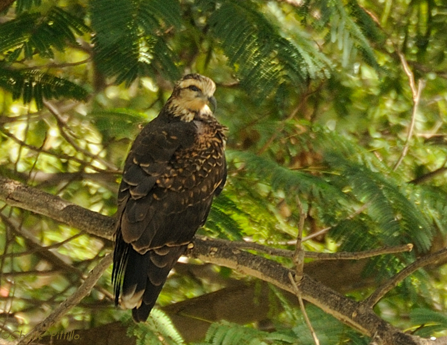 Adult female Snail Kite