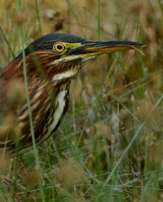 Another Green Heron swipes off slippery slime of prey
