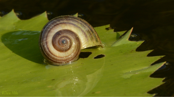 Empty snail shell after Snail Kite slurped out the escargot
