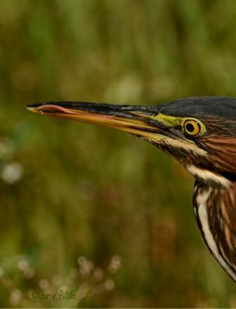 Green Heron cleans left side of lower bill