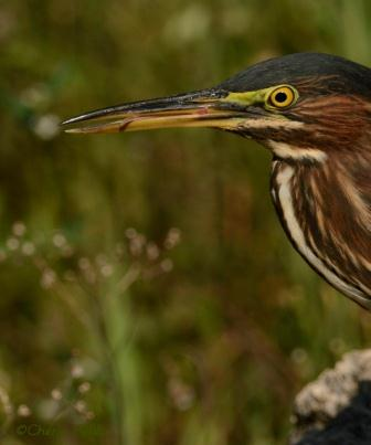 Green Heron tongue reminds me of a swizzle stick