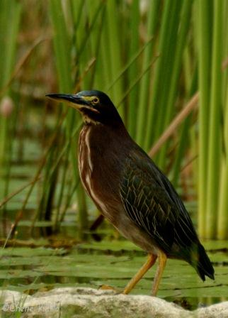 Green Heron with neck down